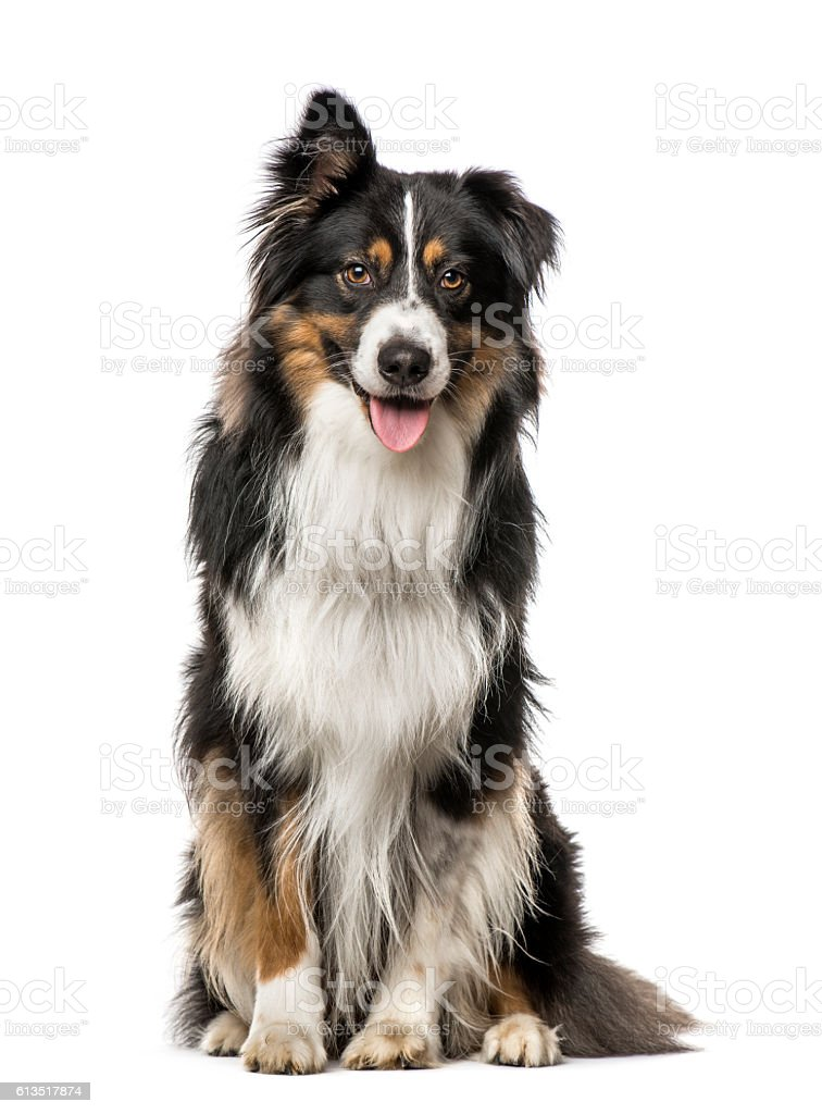 Australian Shepherd with one ear up, isolated on white stock photo