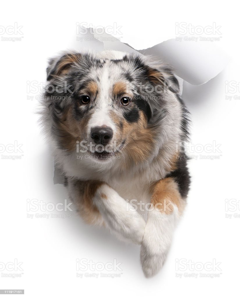 Australian Sheppard dog jumping through white background stock photo