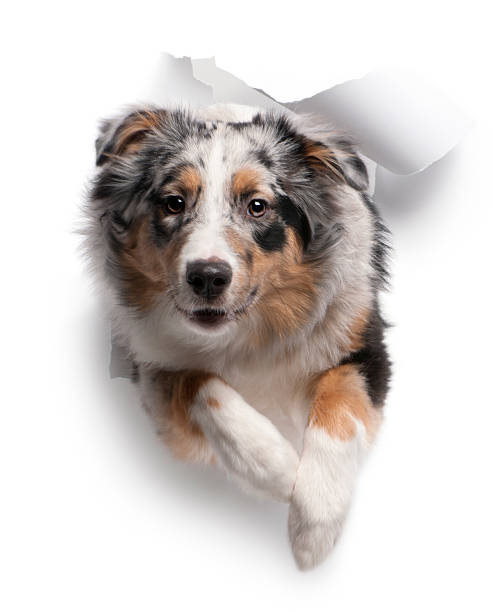 Australian Sheppard dog jumping through white background Australian Shepherd dog jumping out of white background, 7 months old. australian shepherd stock pictures, royalty-free photos & images