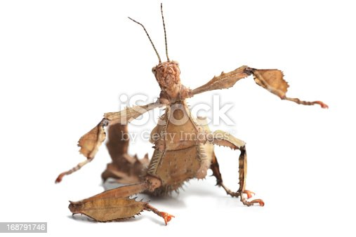 Australian stick insect (Extatosoma tiaratum) isolated on white