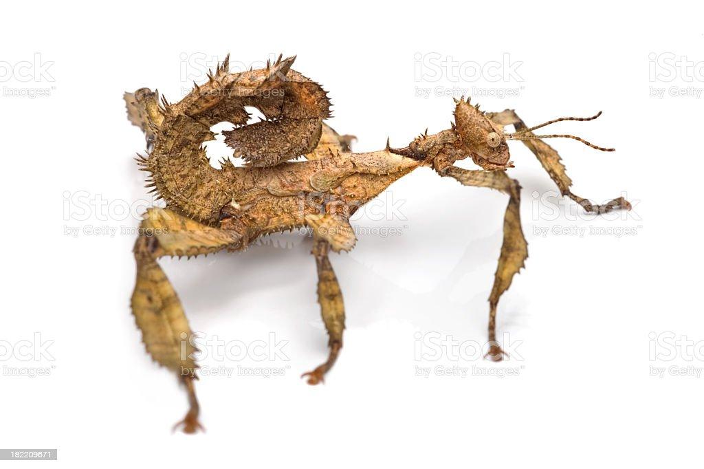 Australian stick insect stock photo