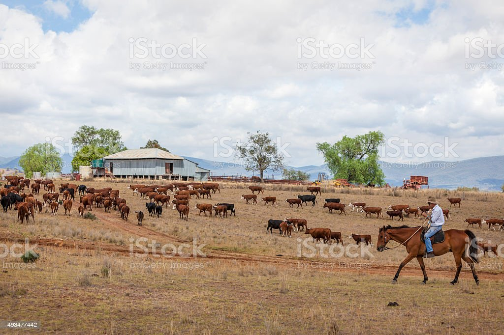 Australian stockman on horse with cattle stock photo