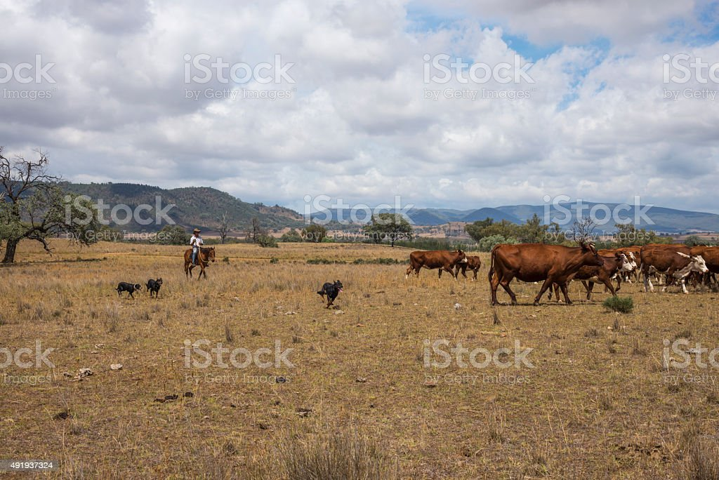 Australian stockman on horse with dogs and cattle stock photo