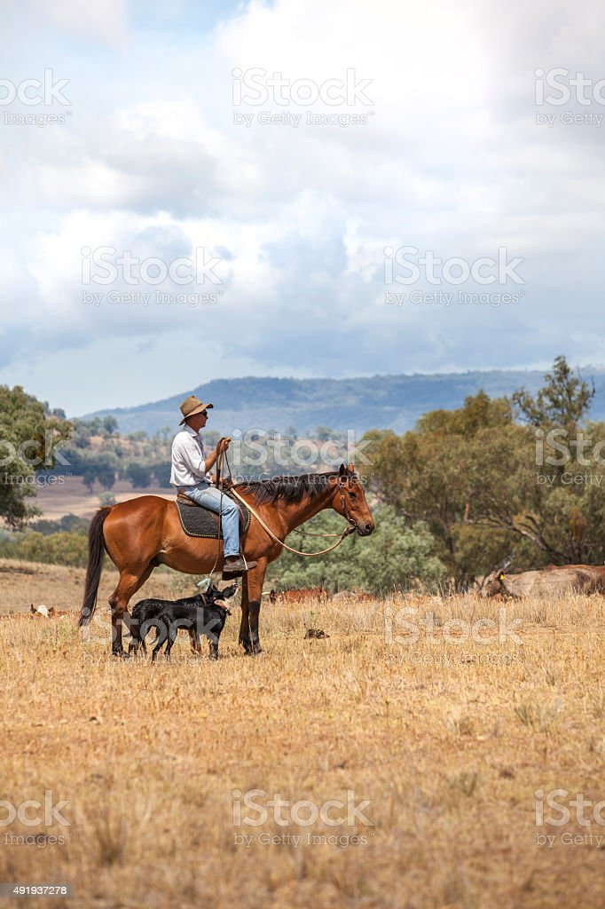 Australian stockman on horse with dogs stock photo