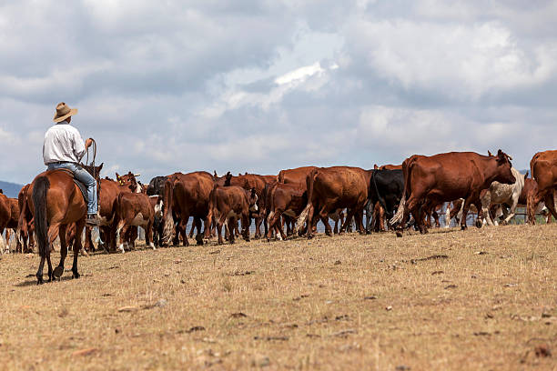 Australian Stockman with cattle Australian stockman mustering cattle in a drought affected landscape. herding stock pictures, royalty-free photos & images