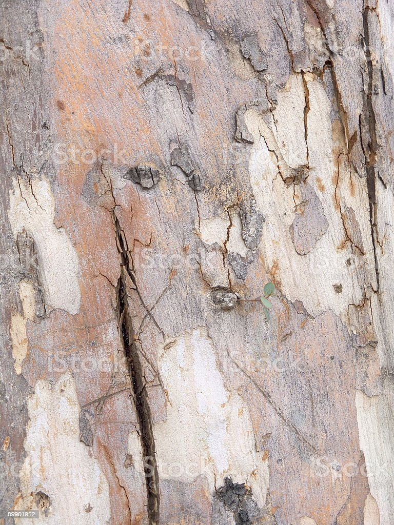 Australian sugar gum detail with new leaf growth royalty free stockfoto