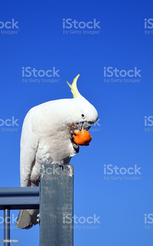 Australian Sulfur Crested Cockatoo eating fruit royalty-free stock photo