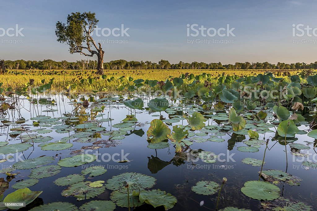 Australian swamp landscape with a tree stock photo