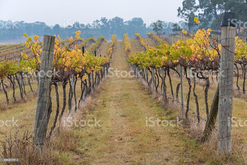 Australian vineyard in autumn, winter season stock photo