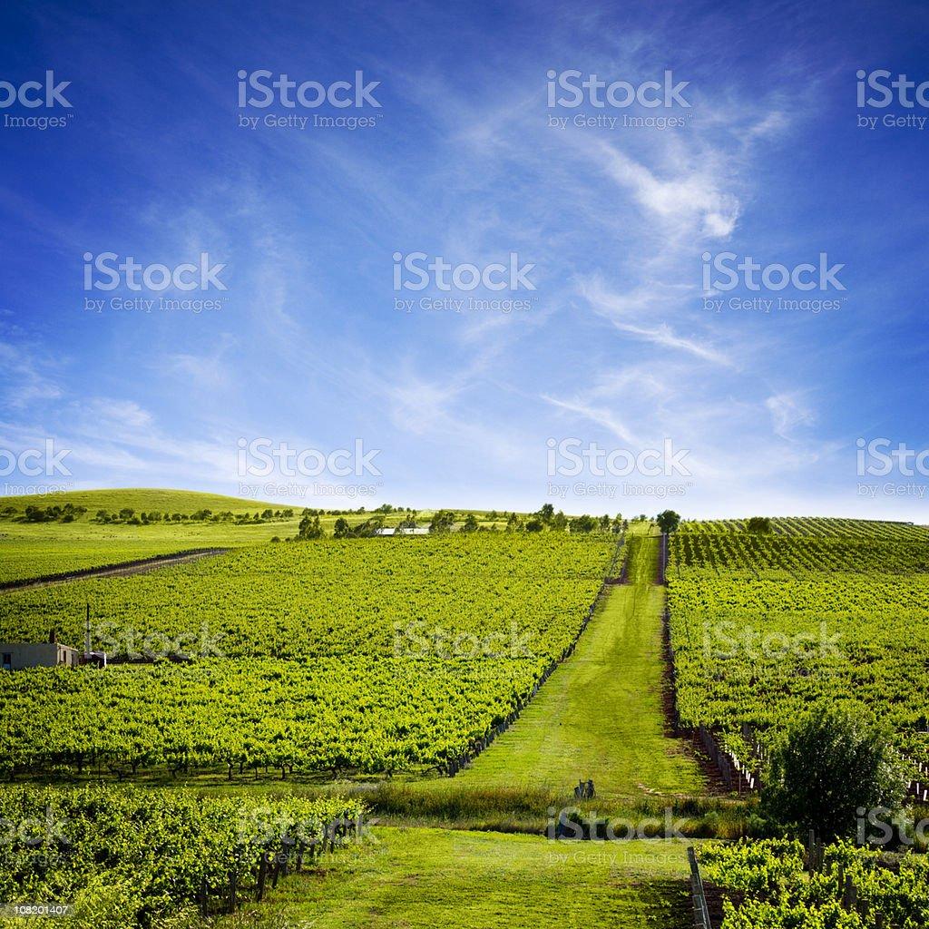 Australian Vineyard with Pathway royalty-free stock photo