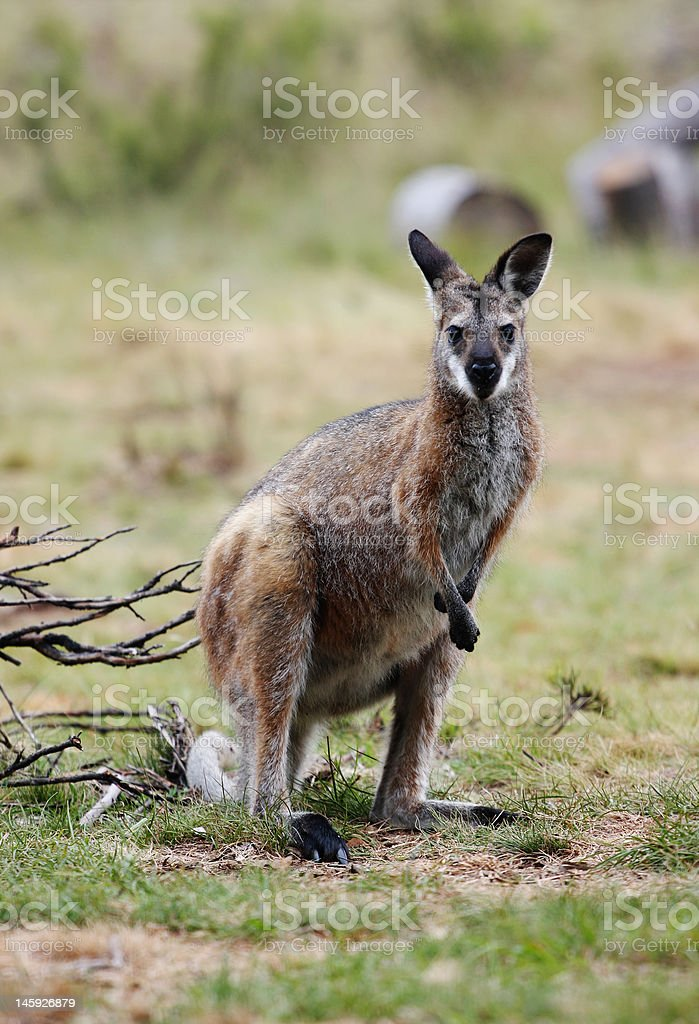 Australian Wallaby royalty-free stock photo