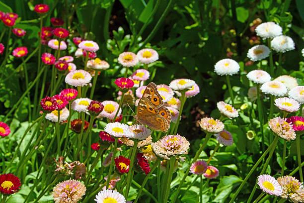 Australian wanderer or monarch butterfly amongst wildflowers picture id472877278?b=1&k=6&m=472877278&s=612x612&w=0&h=sv r0v7rtiavkzb8wikdqdi78wjdh1ordbkgl3hxkyy=