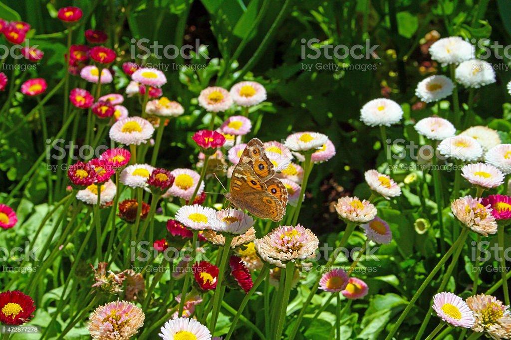 Australian Wanderer or Monarch Butterfly Amongst Wildflowers stock photo
