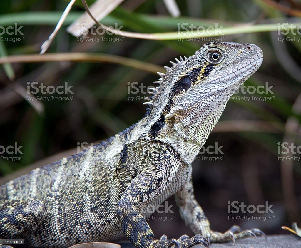 Australian Water Dragon Lizard stock photo