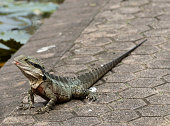 Australian water dragon, or Physignathus, looking to left with pink mouth open