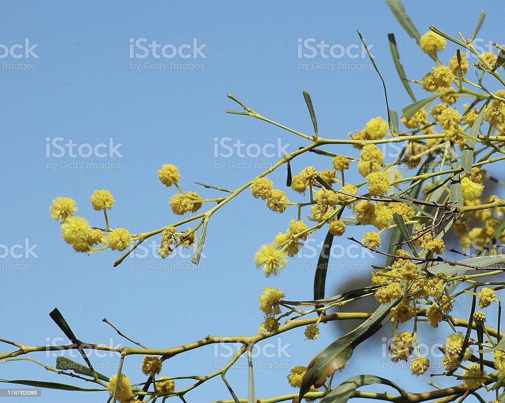 Australian Wattle Flowers stock photo