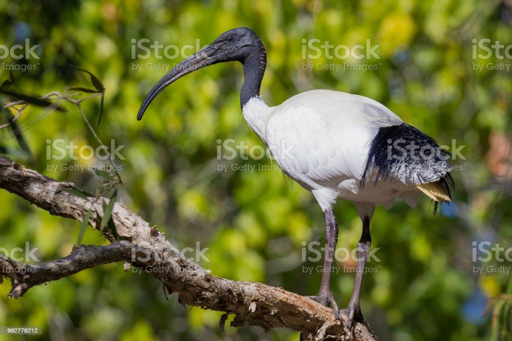 Australian white ibis / black-headed ibis perched on a tree branch. stock photo