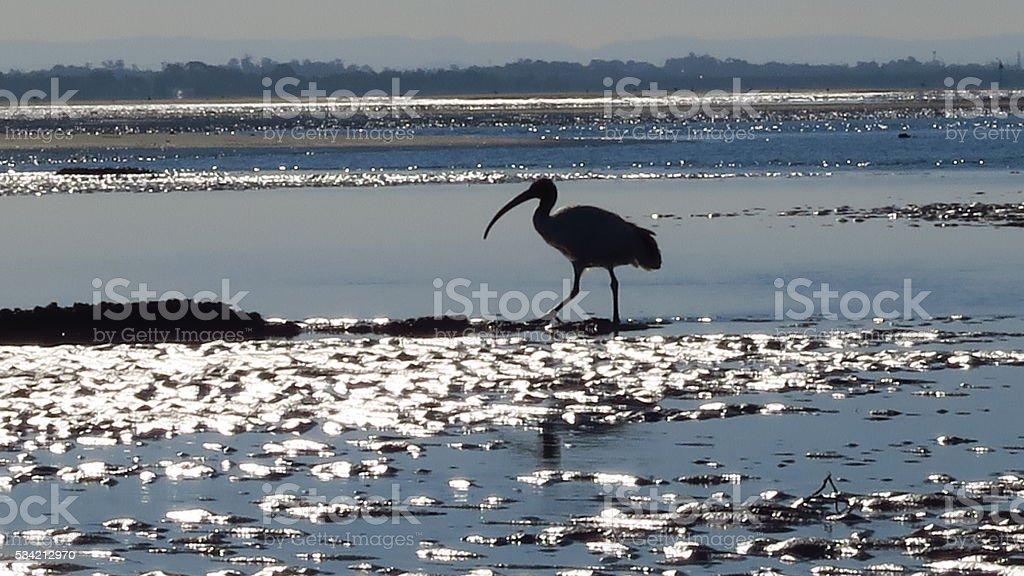 Australian White Ibis silhouette stock photo