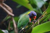 Australian wildlife bird rainbow lorikeet