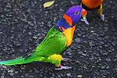 Australian wildlife bird