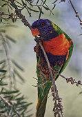Australian birds
