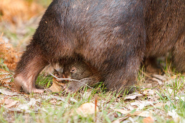 australian wombat  carrying a baby in her pouch - wombat stock photos and pictures