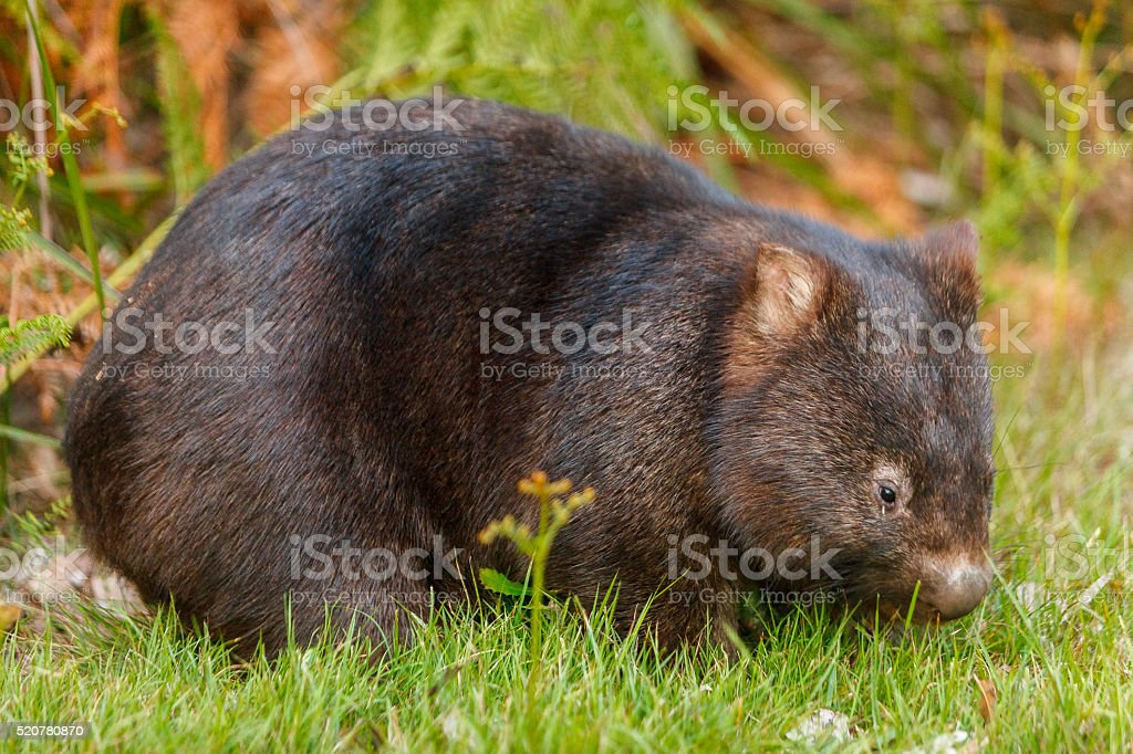 Australian wombat  carrying a baby in her pouch stock photo