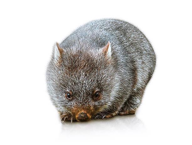 australian wombat - wombat stock photos and pictures