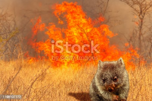 1195174769istockphoto Australian wombat wildlife in the fire 1198107772