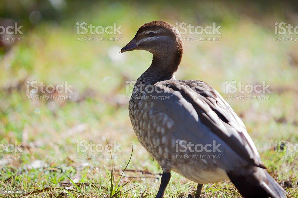 Australian wood duck female royalty-free stock photo