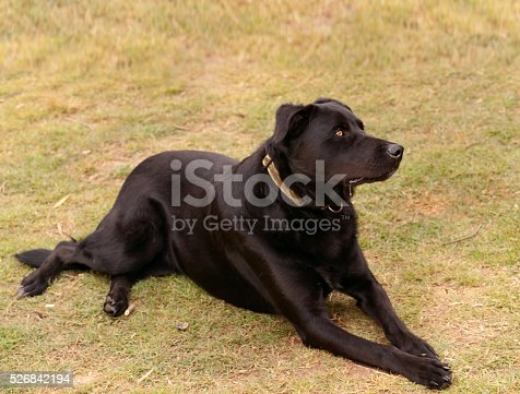 Australian bred working dog black kelpie pure breed canine cattle and sheep dog
