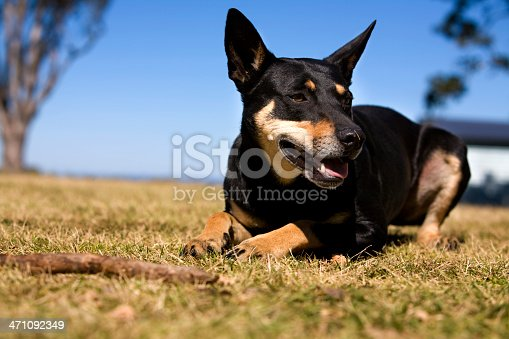 Australian working dog on rural farm