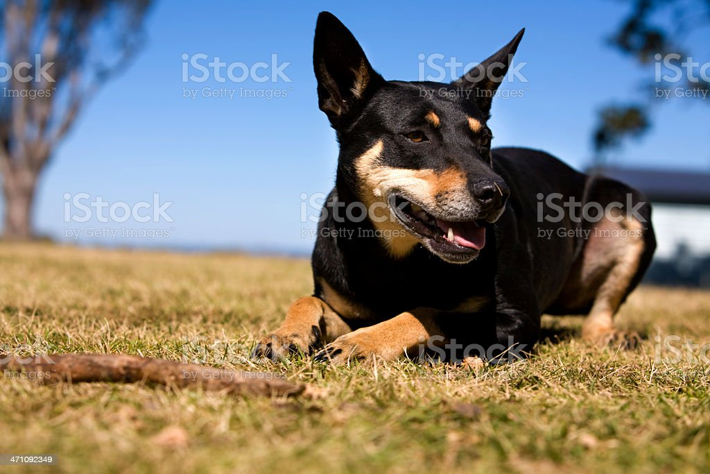 Australian Working dog stock photo