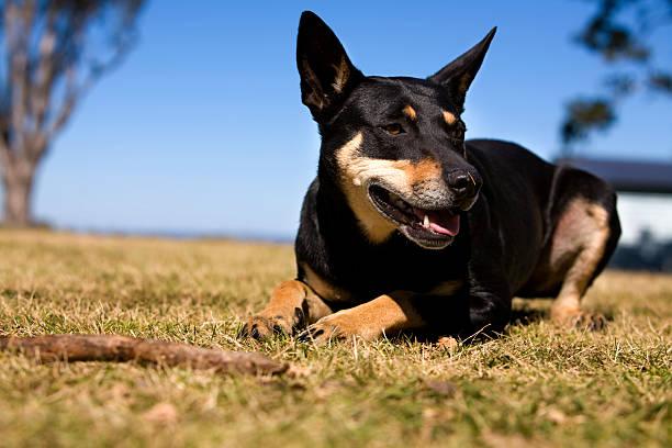 australian arbeiten hund - dressierter hund stock-fotos und bilder