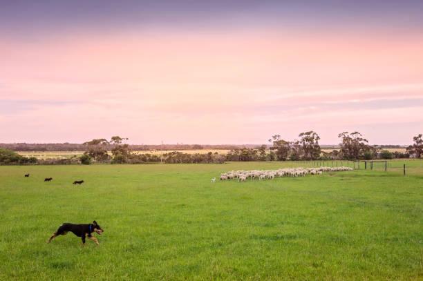 Australische Arbeitshunde Mustering Schafe – Foto