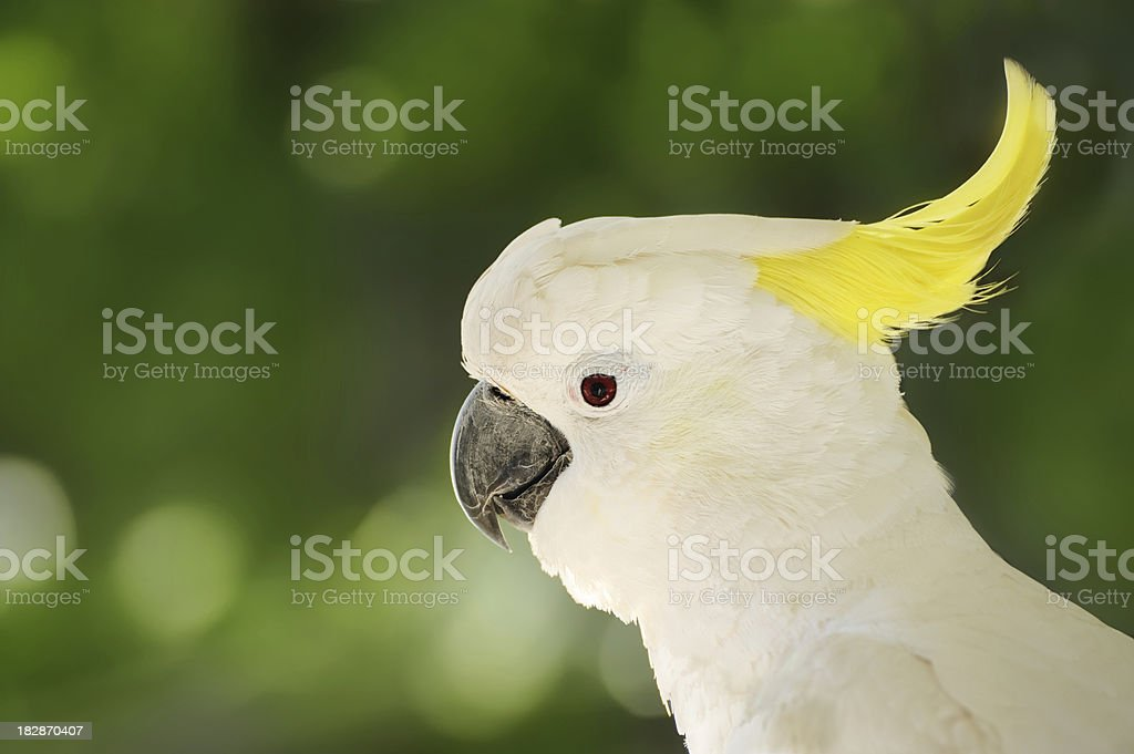 Australian Yellow-crested Cockatoo stock photo