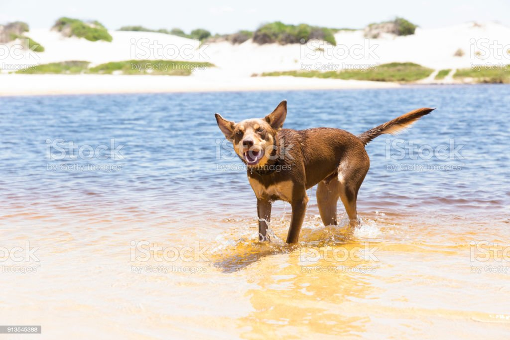 Australiand Red Kelpie on the beach after swim, copy space stock photo