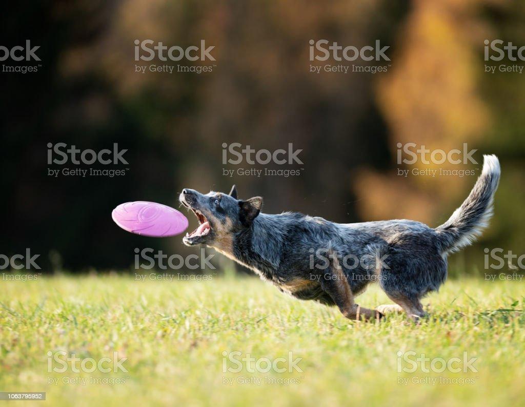 Australien Cattle Dog einen Frisbee in der Luft zu fangen – Foto