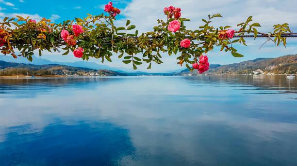 österreich-rosen am pier - wörthersee stock-fotos und bilder