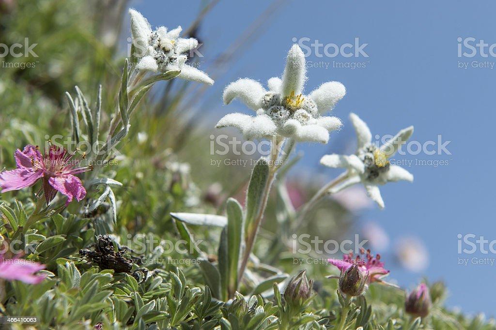 Austria Tyrol Edelweiss stock photo