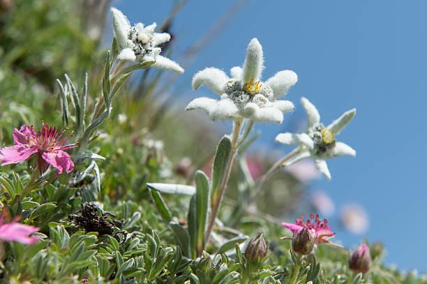 Österreich Tirol Edelweiss – Foto