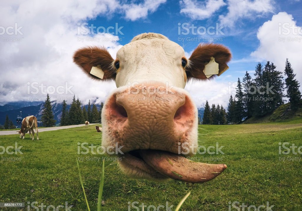 Austrian Cow licking its lips and starring at the camera stock photo
