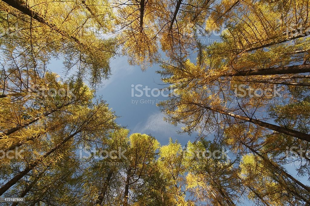 austrian larch trees royalty-free stock photo