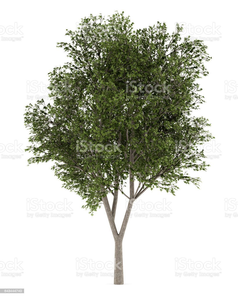 austrian oak tree isolated on white background – Foto