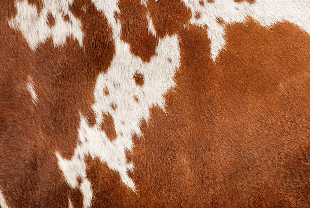 Authentic Cowhide Still on the live cow - no animal was harmed to allow this photograph. So authentic - it might have a little dust and dirt on it. No brushing for this WILD cow! cowhide stock pictures, royalty-free photos & images