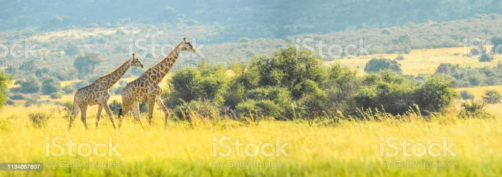 Authentic true South African safari experience in bushveld in a...