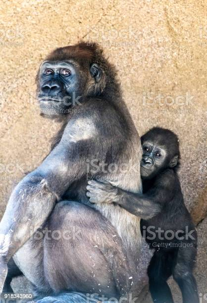 Authoritative mother gorilla and offspring picture id918343960?b=1&k=6&m=918343960&s=612x612&h=vdufautw9wzj7brmj67h3qiha3gv4gwuw5adtv8unyu=