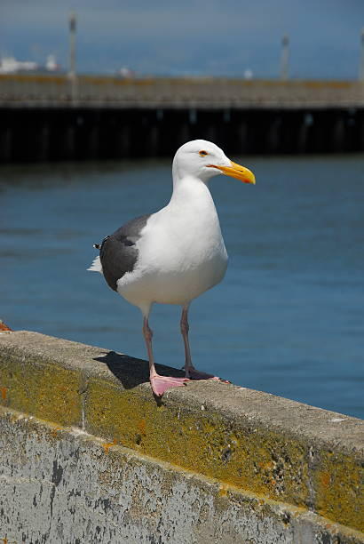 Authoritative Western Gull stock photo