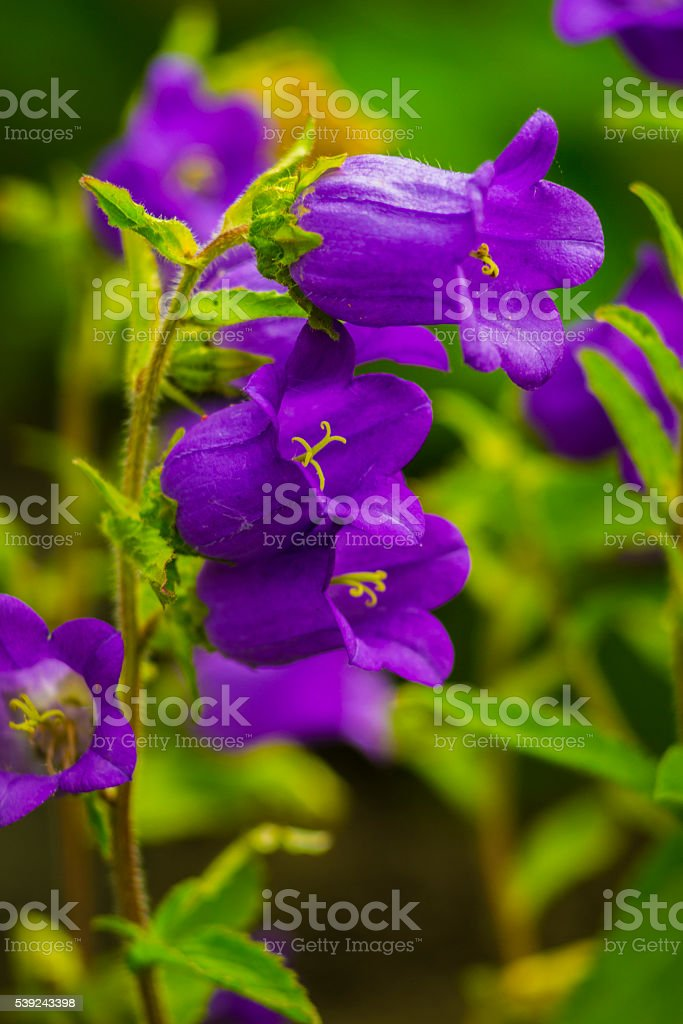 autiful bluebell flowers with rain drops on a green royalty-free stock photo