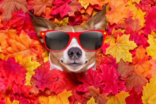 célèbrent automne feuilles chien - Photo